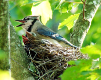 Blue Jay Babies - From eggs to first flight